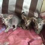 Ориентальные котята - что мы о них знаем?