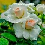 Главные особенности ухода за розами