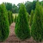 «Туи» - множество туй и других декоративных деревьев на выгодных условиях