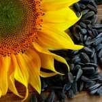 Как выбрать семена подсолнечника для посева