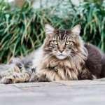 Как выбрать кота «Мейн-кун»