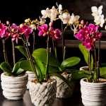 Правила и советы по пересадке орхидеи